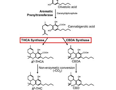 Hanfextrakt - CBG ist das ursprüngliche Cannabinoid